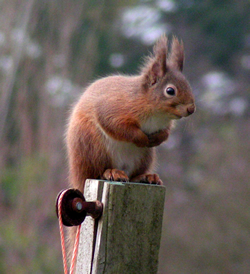 Red Squirrel © IF