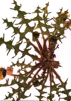 An herbarium specimen (Taraxacum pulchrifolium, Markl. 1938). © GT