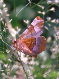 Purple Thorn moth © IF
