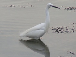 Little egret, Yarmouth