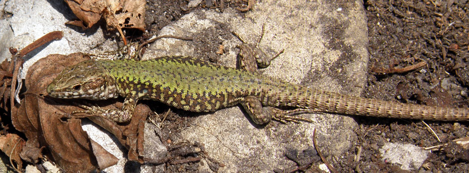 Wall lizard, Ventnor Botanic Garden (MC)