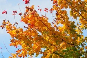 Autumn colours of Norway Maple, Acer platanoides