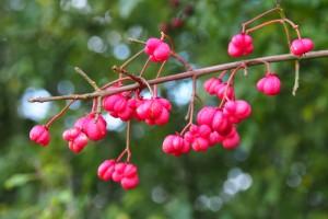 """Euonymus europaeus """"Spindle Tree"""""""