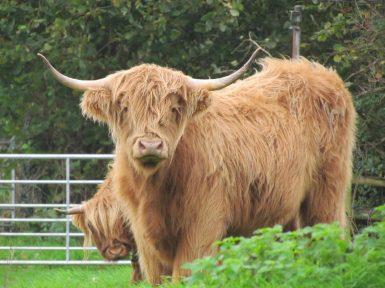 Highland Cow(photo Hazel Trevan)