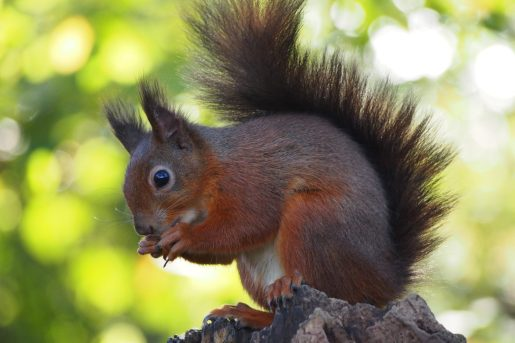 Red Squirrel(photo Dave Trevan)
