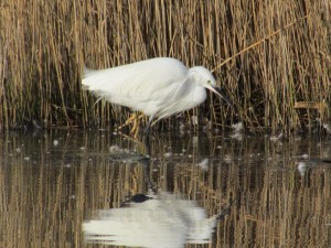 Little Egret (Egretta garzetta) Photo: Dave Trevan