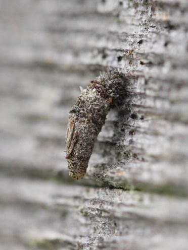 Bagworm Moth larva (Luffia ferchaultella) by Iain Outlaw