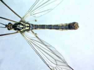 Crane Fly (Nephrotoma appendiculata) by Iain Outlaw