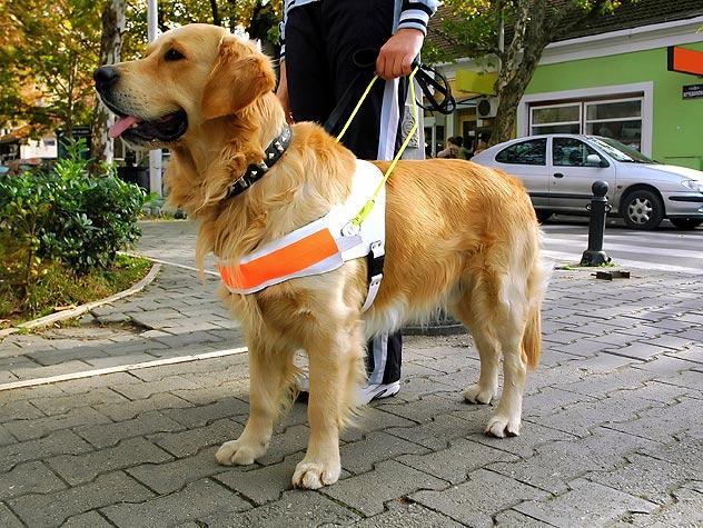 Service Dog Pic