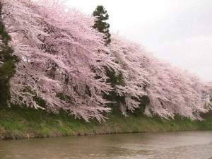 霞城公園の桜[2008年]公園西側のお堀のアップ