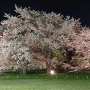 お達磨の桜(夜桜) - 2019年