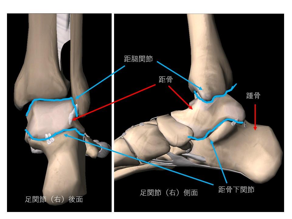 足関節3Dイラスト