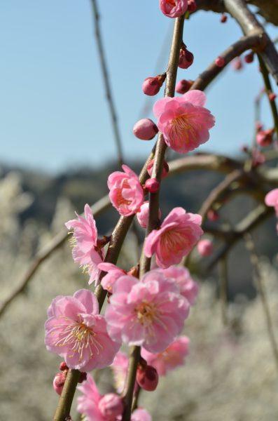 お花見,七折梅園