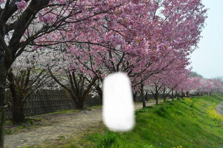 お花見,石手川,道後