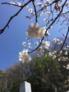 令和2年の天徳寺十六日桜
