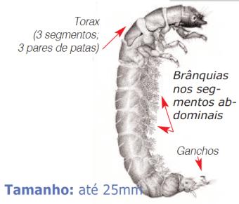 larva frigânios