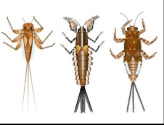 larvas efémeras