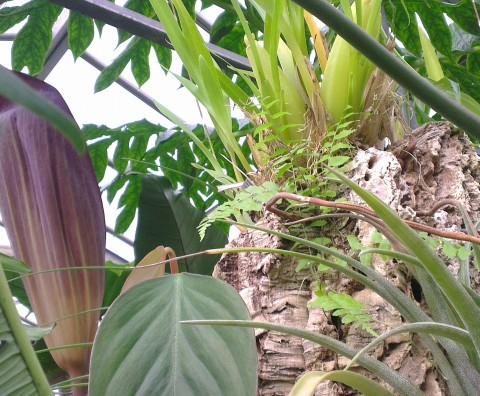 Dracontium pittieri