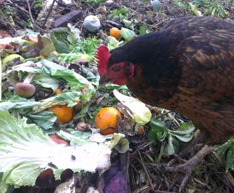 Une poule sur un compost !Une poule sur un compost !