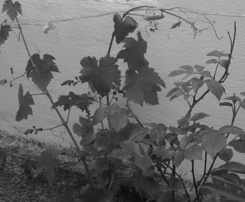 Vigne en Bavière