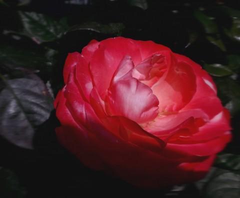Les filles naissent-elles dans les roses ?