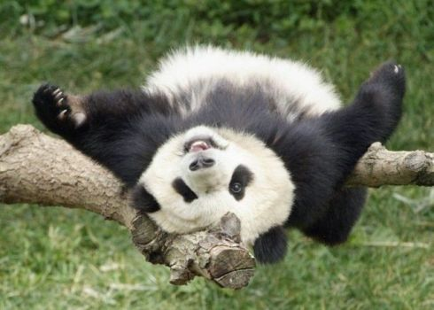 Funny and cute pandas (39 pics)