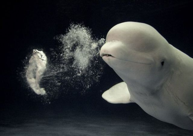 Beluga whales blowing bubbles (5 pics)