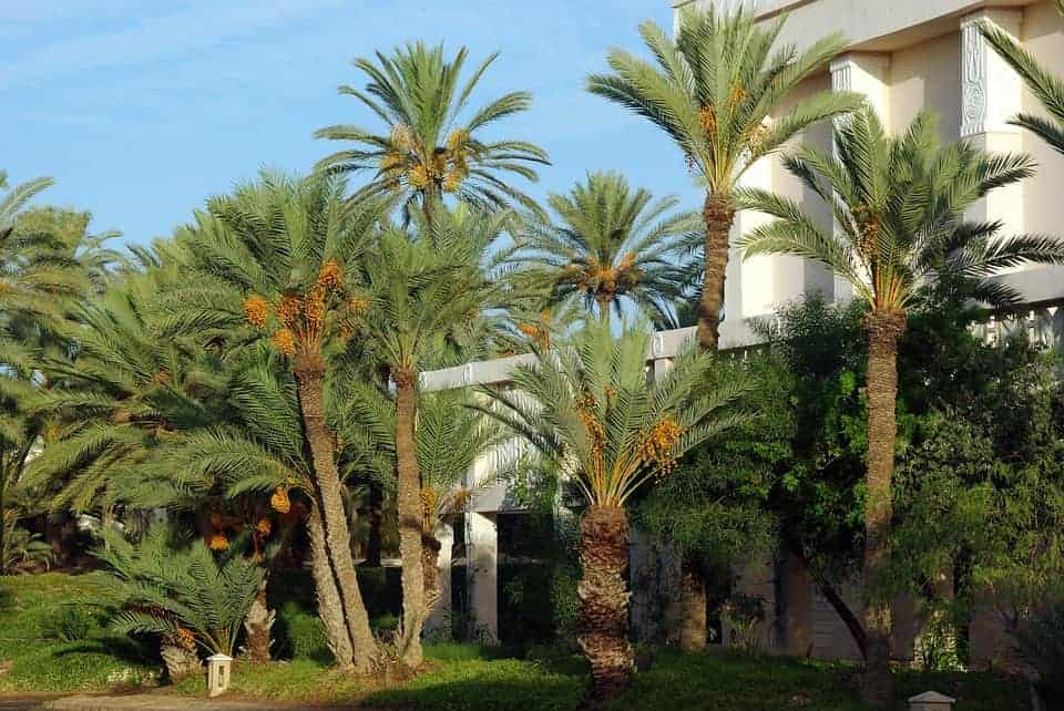 Date Palm Story