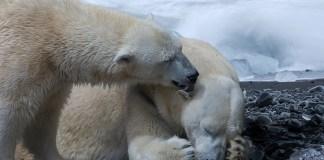 Szenvedő jegesmedvék - fotó: pixabay