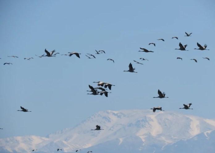 A veszélyeztetett madarak listája növekszik. Daru- vándorlás Izraelben - fotó: KKI