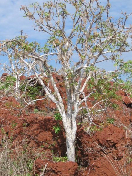 palo-santo-drvo