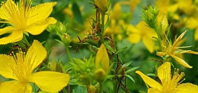 Gospina trava (Hypericum perforatum)