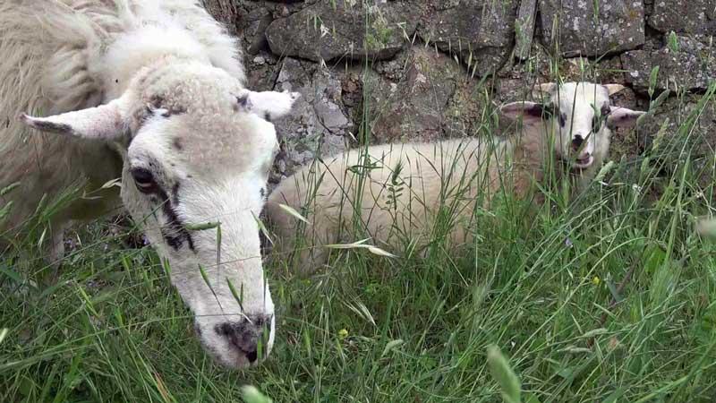 Muzej ovčarstva, Lubenice – Cres