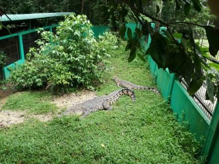 Crocodiles at Semeggoh too