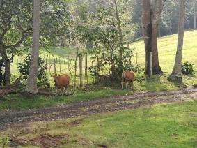 Deer-like cows