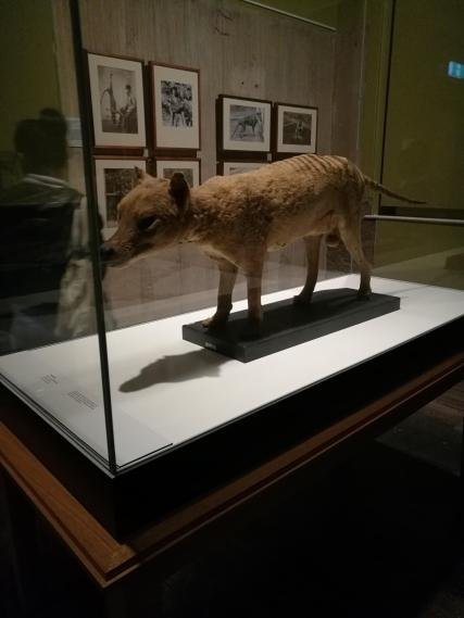 Museum - Tasmanian tiger!