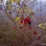 canadian berries