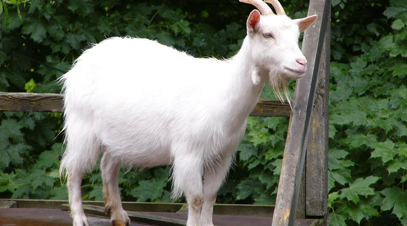 pretty goat, most beautiful goats, furry goats