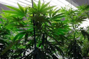 marijuana weed industry growing