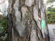 Uno de los árboles tratados. (Foto: Rebeca Ruiz)