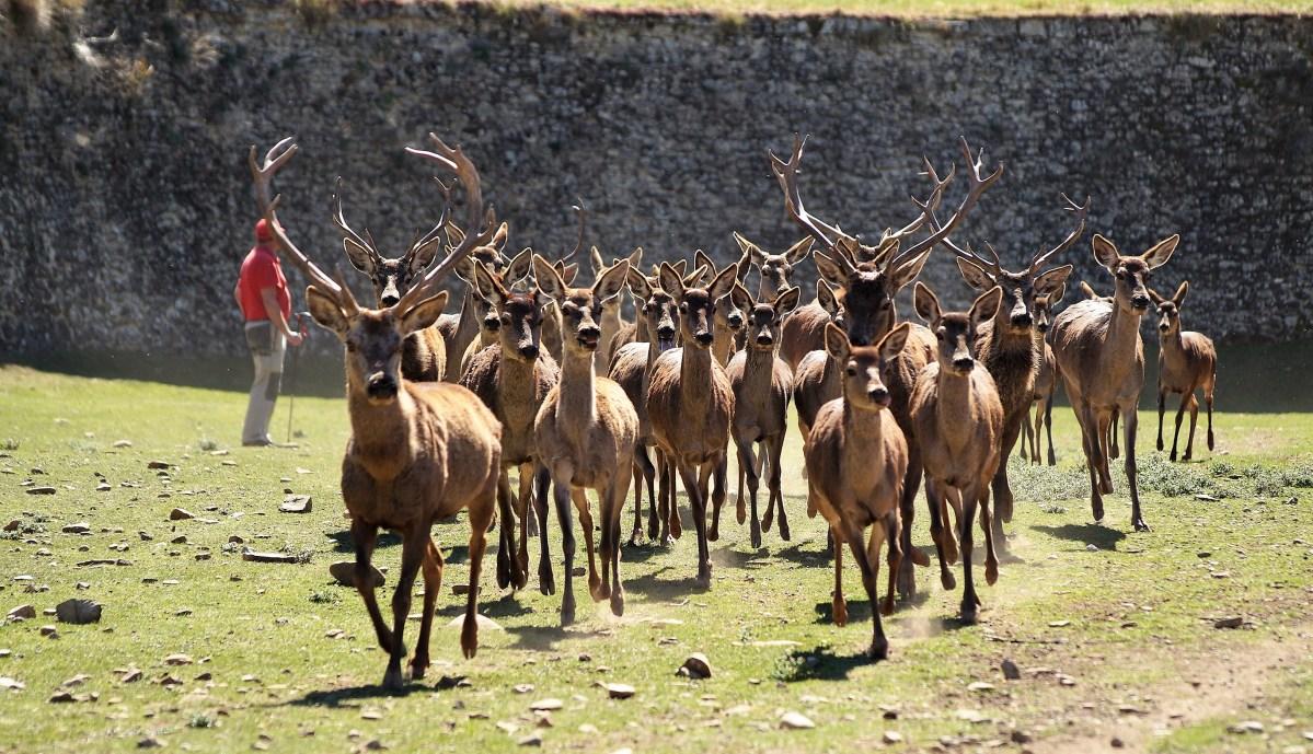 Historias de druidas para homenajear a los ciervos de la Ciudadela de Jaca