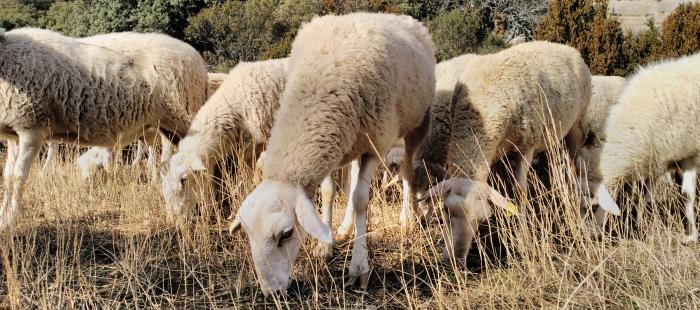 GANADERÍA EXTENSIVA. La ganadería extensiva es una herramienta contra la despoblación.