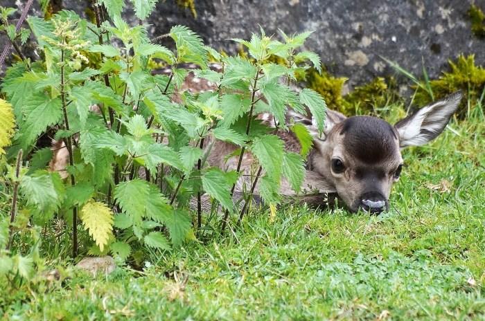 CIERVOS. Ecociudadela y otras actividades de educación ambiental en torno a los ciervos siguen siendo un importante reclamo para los visitantes de la Ciudadela. (FOTO: Rebeca Ruiz)