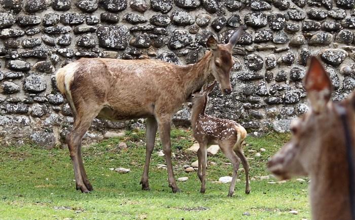CIUDADELA. Los ciervos, uno de los aspectos más sorprendentes para los visitantes. (FOTO: Rebeca Ruiz)