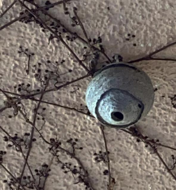 EN DETALLE. Nido primario de avispa europea localizado en Jaca. (FOTO: Servicio de Emergencias del Ayuntamiento de Jaca)