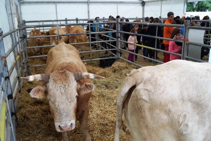 FERIA. Imagen de la exposición de bovino de 2019. (FOTO: Rebeca Ruiz)