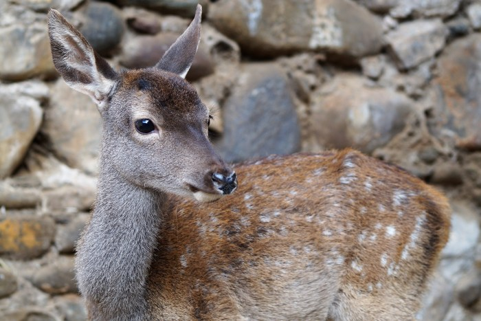Uno de los ciervos más pequeños, protagonista de Ecociudadela. (FOTO: Rebeca Ruiz)