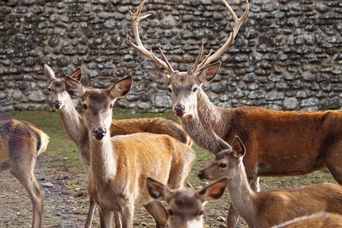 Llega la berrea de los ciervos a la Ciudadela de Jaca. (FOTO: Rebeca Ruiz)