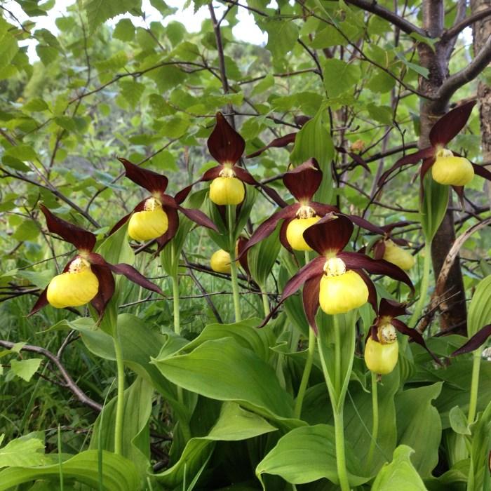 Colectivo Foratata: el pequeño gran milagro de preservar una flor, el singular Zapatito de Dama. (FOTO: Colectivo Foratata)