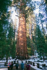 """the """"biggest"""" tree in the world"""